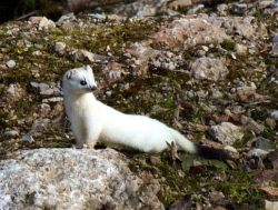 The Shape of Wildlife in Winter: Short-tailed weasels, also known in winter as ermine, have a long, slender body shape that allows them to invade subnivean tunnels to prey upon smaller mammals.