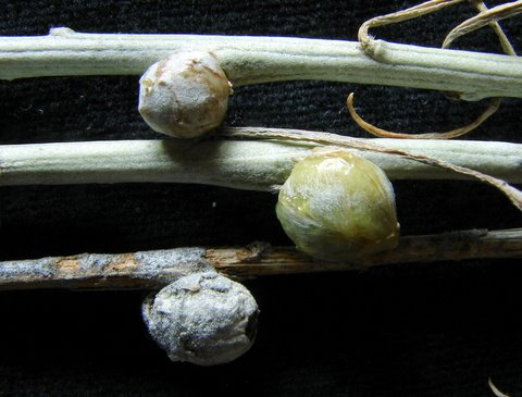 Gall Insects: Click to view Rabbit Brush Galls made by a tephritid fly (Aciurina trixa.) Image courtesy and copyright Jim Cane