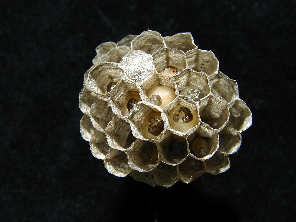 Open-faced nest of Polistes  paper wasp with grub-like larvae, Courtesy and Copyright 2009 Jim Cane - All Rights Reserved