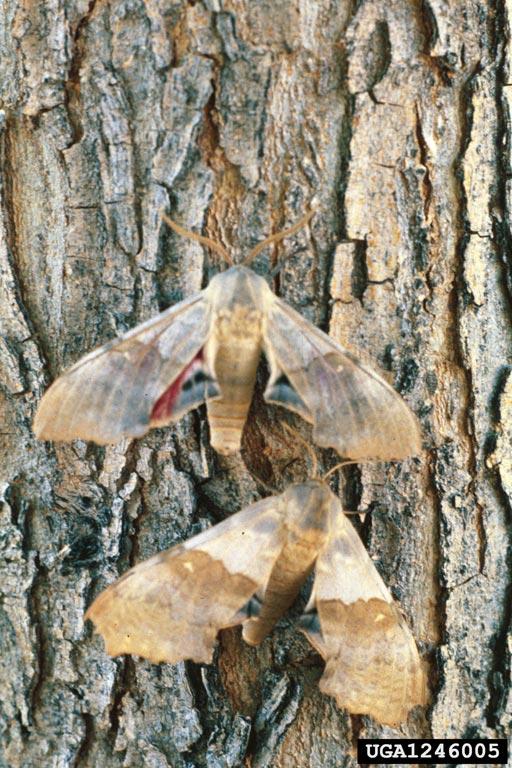 Sphinx Moths; Big Poplar Sphinx, Pachysphinx occidentalis, Courtesy Whitney Cranshaw, Colorado State University, bugwood.org