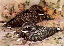 Looking for Nightjars: Click to view the larger image of Common Poorwill (front) and Dusky Poorwill. Courtesy Wikimedia and Louis Agassiz Fuertes (artist, 1874-1927), US Copyright expired