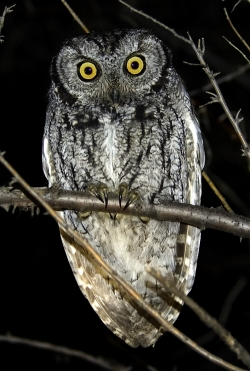 Click for a larger image - Western Screech Owl courtesy and copyright 2007 Lu Giddings