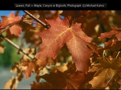 Canyon or Big-Toothed Maple leaves in fall, Acer grandidentatum, Courtesy Michael Kuhns, Extension.usu.edu