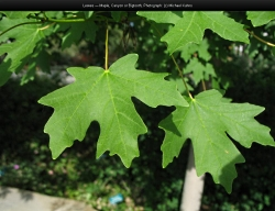Canyon or Big-Toothed Maple leaves in late summer Acer grandidentatum Courtesy Michael Kuhns