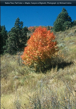 Aflame with Color: Canyon or Big-Toothed Maple In a natural landscape Acer grandidentatum, Courtesy Michael Kuhns Extension.usu.edu