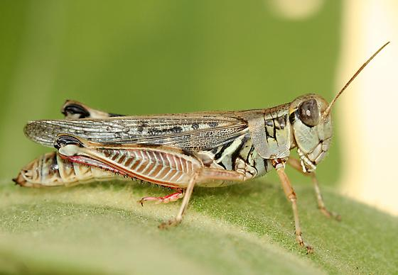 The Migratory Locust in North America; a post mortem