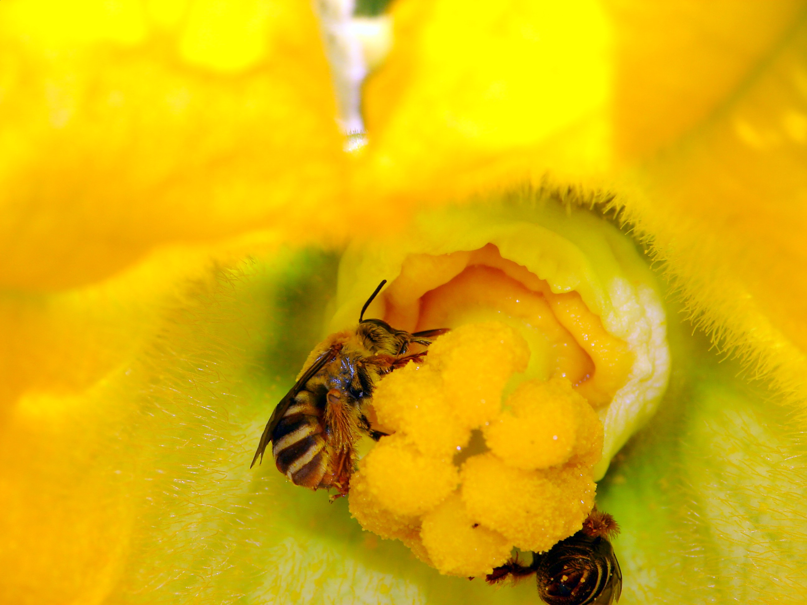Our Native Squash Bees: Squash Bee, Peponapis_pruinosa, Courtesy and Copyright 2007 Jim Cane - All Rights Reserved