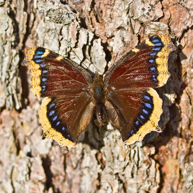 Mourning cloak butterfly courtesy and copyright 2010 Don Rolfs