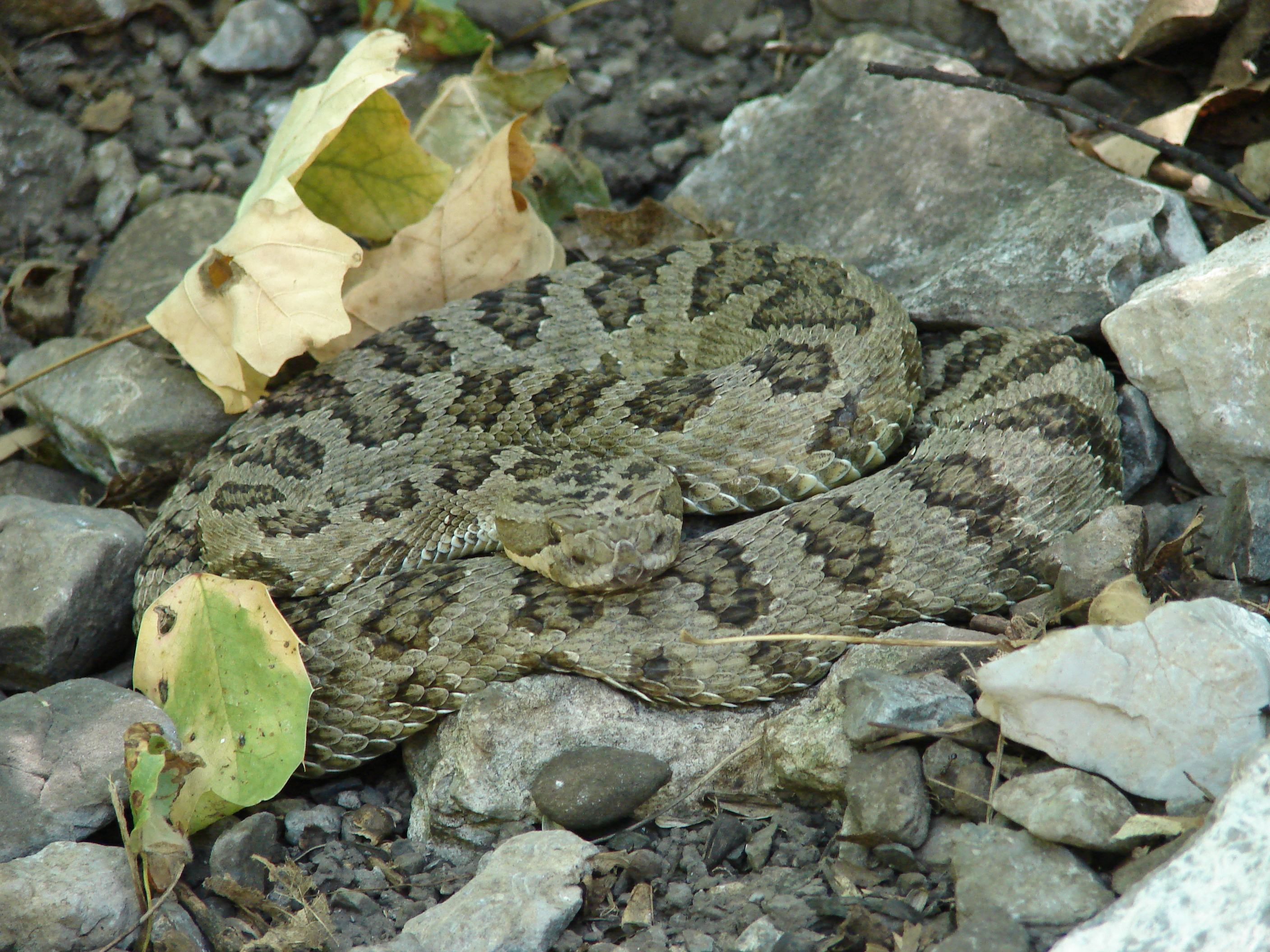 Rattlesnakes Archives - Wild About Utah