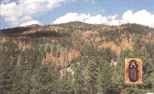 Bark Beetle Mania: Pine beetle damage to ponderosa pine in Dixie National Forest 2000 Courtesy USDA Forest Service