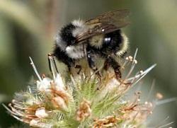 Bumblebee Queens of Spring: Bombus bifarius. Copyright (c) 2008 Don Rolfs
