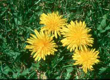Dandelions, Photo Copyright 2002 Roger Banner, Intermountain Herbarium, USU