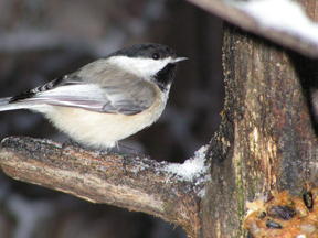 Black-Capped Chickadee, Copyright Stephen Peterson, Photographer