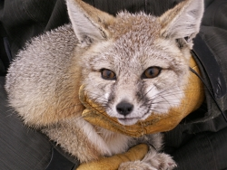 Kit Fox, click to view larger image, Photo Courtesy and Copyright © 2009 Bryan Kluever, graduate research assistant, Utah State University Department of Wildland Resources