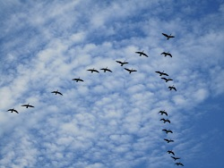 Why Some Birds Flock in the Vee Formation: Canada Geese Flying in a V Formation. Courtesy & Copyright, Brenda Bott, Photographer