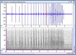 Click for a larger view of an Audiospectrograph of the Crepitating Cicada. Courtesy and Copyright 2008 Jim Cane, Photographer