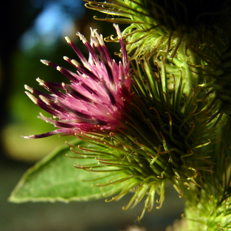 Click for a closer view of Burdock flowers, Courtesy and Copyright 2009 Jim Cane