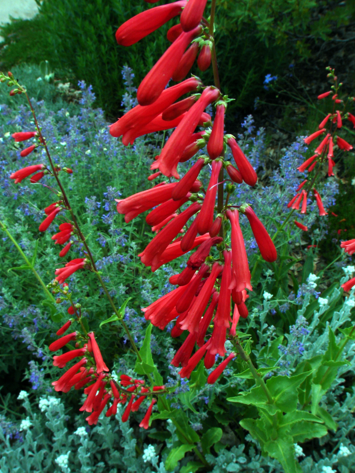 Gardening for hummingbirds wild about utah penstemon hummingbird host courtesy and copyright jim cane photographer mightylinksfo Choice Image