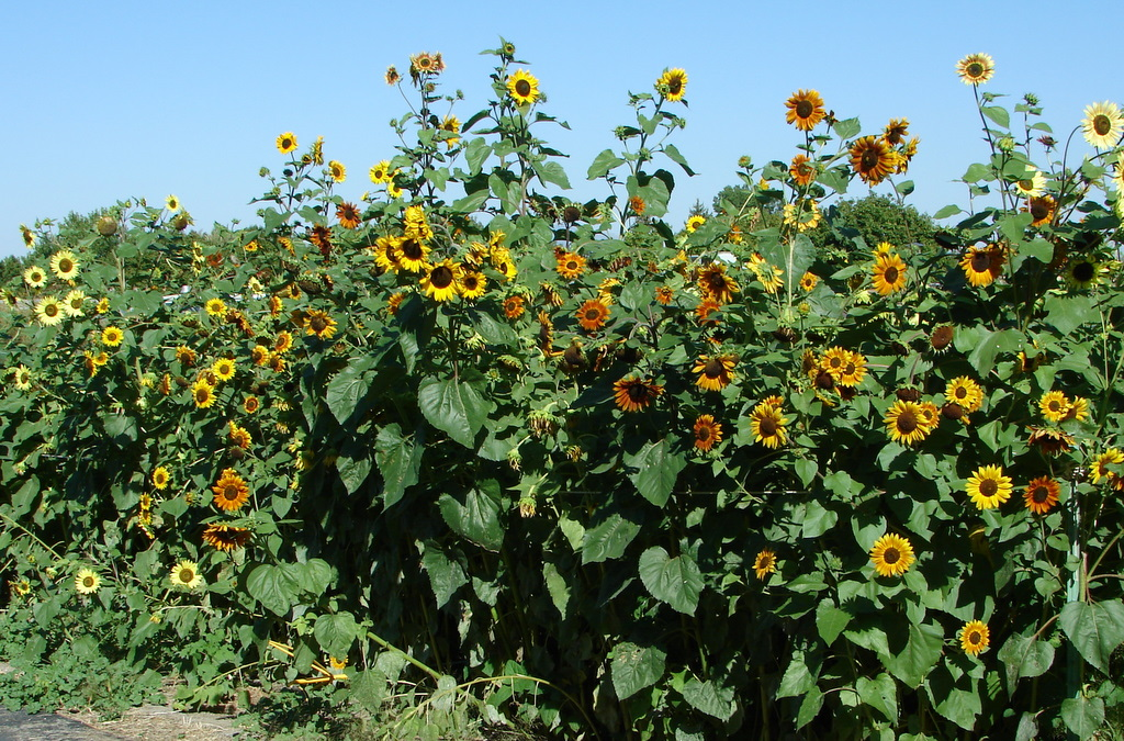 wild sunflower Here, we test the hypothesis of rapid hybrid speciation by estimating the sizes of  parental species chromosomal blocks in helianthus anomalus, a wild sunflower.