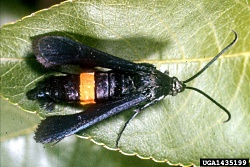 Peach Tree Borer, Courtesy Cooperative Extension, Copyright 2009 Clemson University