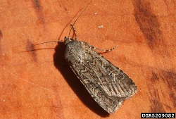 Miller Moth Adult, Courtesy IPMimages.org, Whitney Cranshaw, Photographer