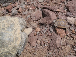 Click for a larger view of an adult and juvenile Desert Tortoise. Courtesy & Copyright 2009 Andres Durso, Photographer