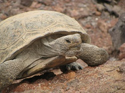 Click for a larger view of an adult Desert Tortoise. Courtesy & Copyright 2009 Kevin Durso, Photographer