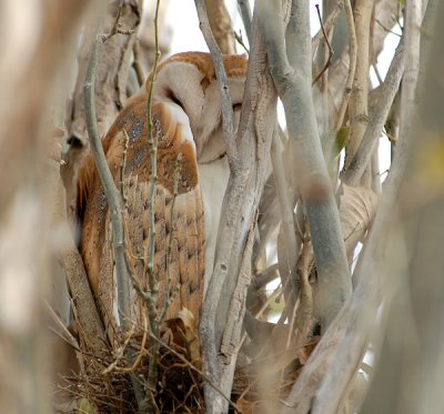Barn owl sleeping in a tree, Photo Copyright 2010 Mike Fish