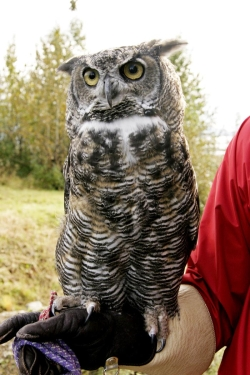 Calls of Two Common Owls: Great Horned Owl  Photographer: Karen Laubenstein US FWS Digital Library