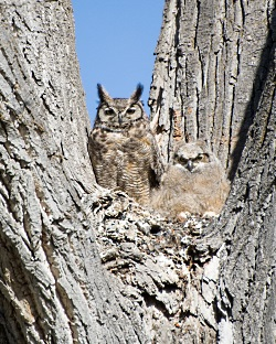 Great Horned Owl and Chick, Courtesy US FWS Digital Library, George Gentry Photographer