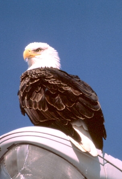 Climate Change and the Christmast Bird Count: Bald Eagle on light post