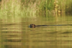 Click for larger picture, Beaver in pond, Courtesy US FWS