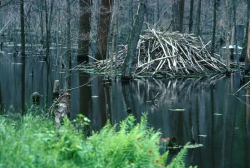 Click for larger picture, Beaver Lodge, Courtesy US FWS