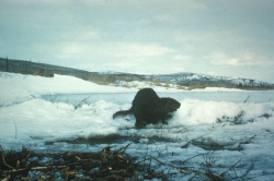 Click for larger picture, Beaver in snow, Courtesy US FWS