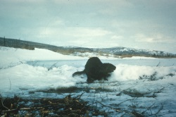 Beaver in snow, Courtesy US FWS
