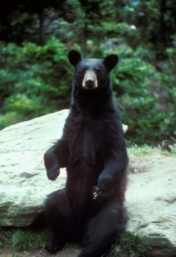 Click to view larger image of male Black Bear, Photo Courtesy US FWS, Mike Bender, Photographer