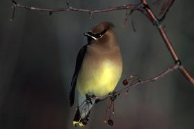 Cedar Waxwing US FWS FWS Digital Library, David Menke, Photographer