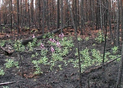 Wildfires in Utah: Click to view larger image of Fireweed growing in burned area, Photo Courtesy US FWS, U.S. Fish and Wildlife Service