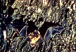 Bats and Echolocation: Little Brown Bats, Courtesy U.S. Fish and Wildlife Service, Photographer: W.D. Fritzwater