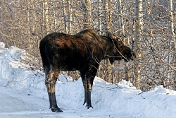 Winter Encounters With Moose