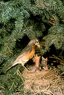 Robin with Chicks in Nest