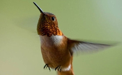 Rufus Hummingbird Courtesy US FWS, Roy W, Lowe, Photographer