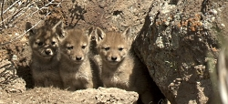 Click to view Coyote Pups on the public lands of the Malheur National Wildlife Refuge, Courtesy US FWS