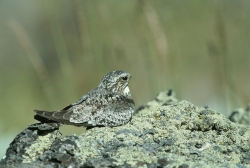Click to view the larger image of Common Nighthawk. Courtesy US Images.FWS.gov and Dave Menke, Photographer