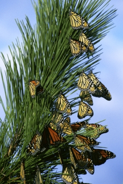 Click to view a closer view of Andrea Liberatore's photograph of Gene Nieminen's photograph of Monarch butterflies resting during migration.  Courtesy US FWS, Gene Nieminen, Photographer