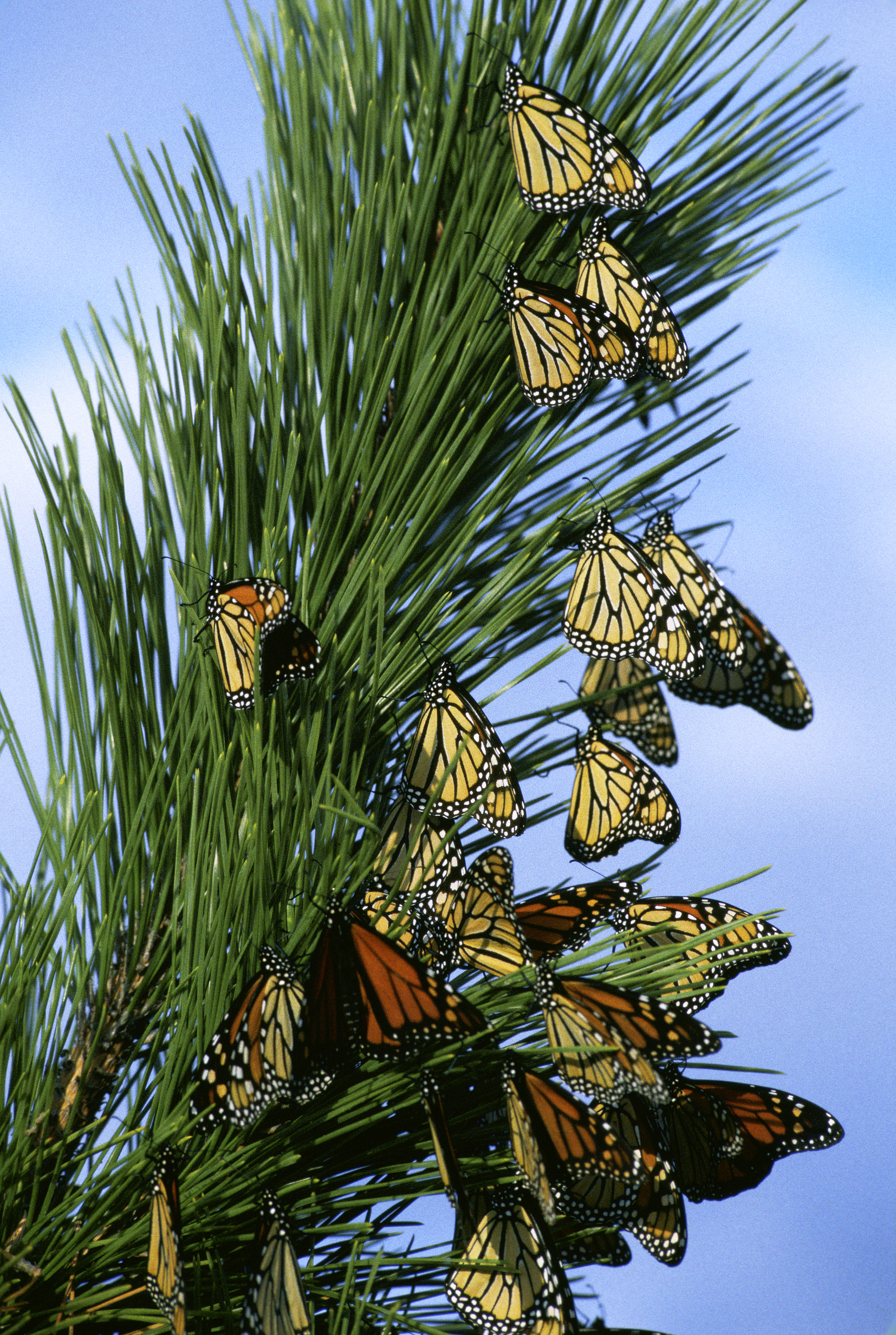 Monarch butterfly migration tree - photo#47