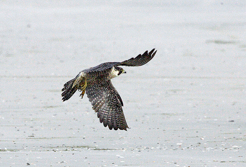 Click to view larger image of a Peregrine Falcon in Flight. Courtesy US FWS, Katherine Whittemore, Photographer