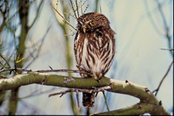 Pygmy Owl, Courtesy US FWS Digital Library, Bob Miles Photographer