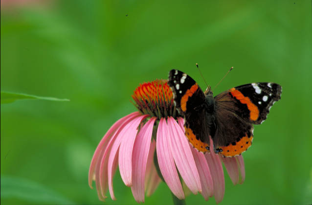 Red Admiral Butterfly, Thomas G. Barnes, US FWS Digital Library