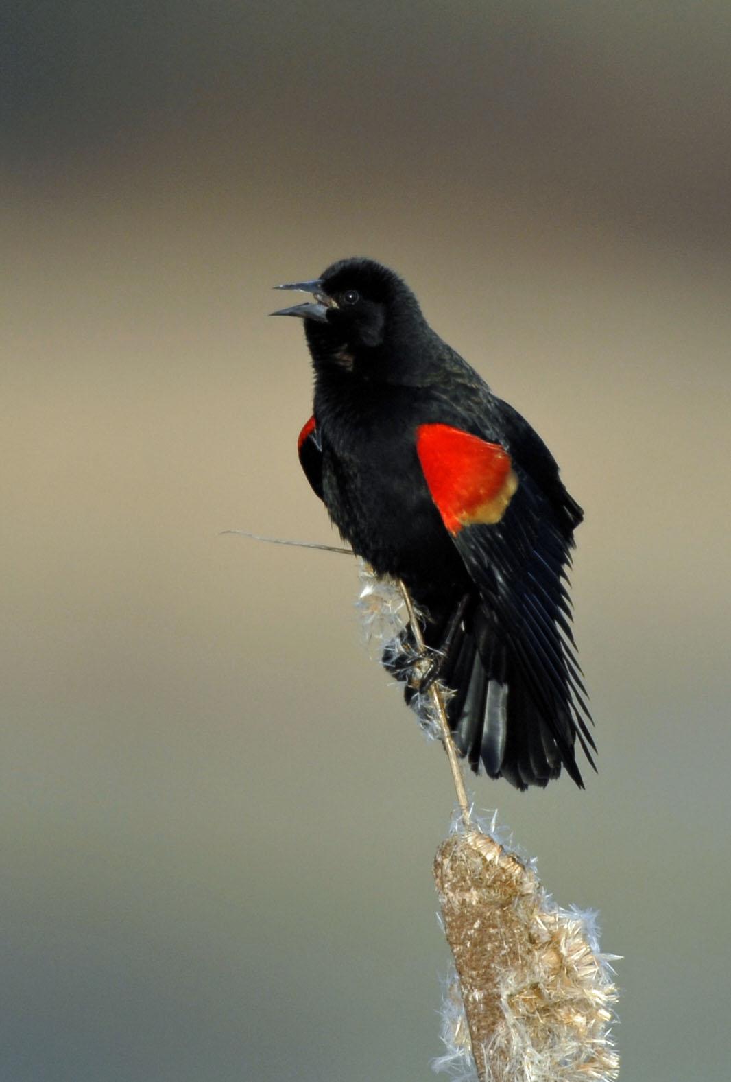 Blackbirds in Our Wetlands